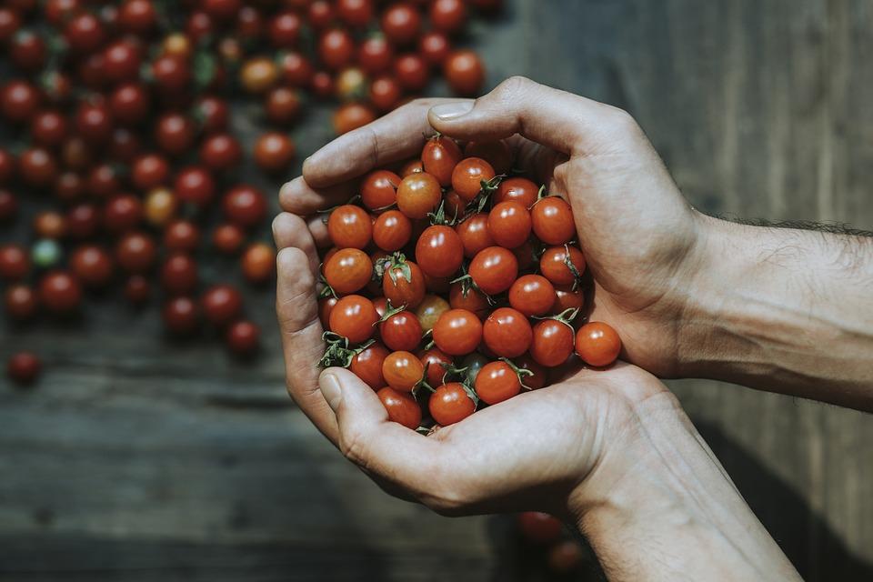 cách trồng cà chua bi